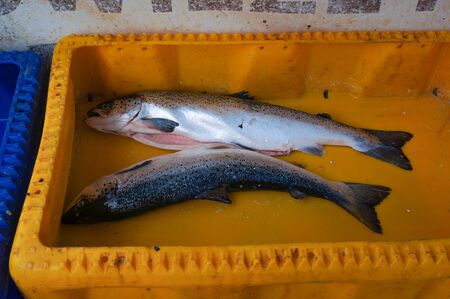 Freshly caught fish - trout from Baltic sea.