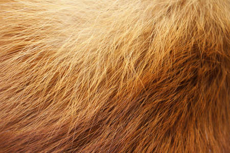 Closeup of red fox fur. Natural orange background.