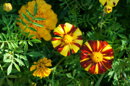 Yellow and red flowers of Marigold (Tagetes).