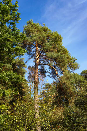 Pine tree in mixed pine and deciduous forest in autumn.