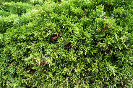 Evergreen conifer tree Thuja Arborvitae. Natural green background.