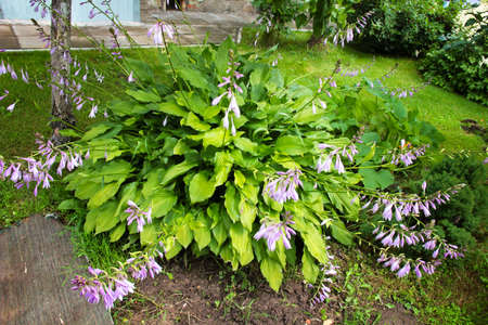 Lush green foliage and lilac flowers of Hosta (Funkia). Banque d'images