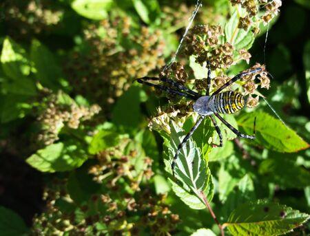 Garden Spider Stockfoto