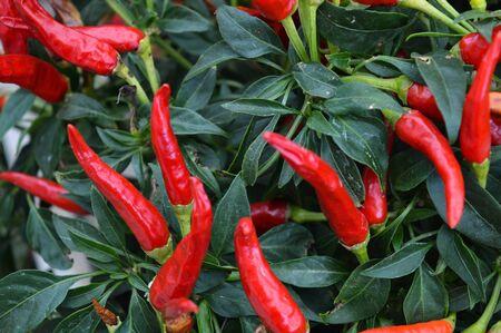 long: Long Red Pepper plant