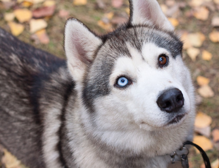 Portrait of a dog breed Husky closeup with colored eyes photo