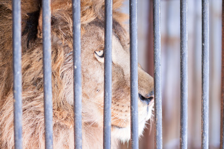 volition: Wise glance of large lion behind bars in zoo Stock Photo