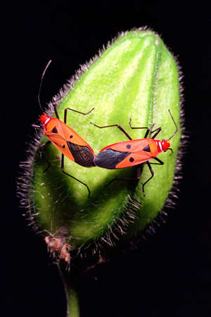 bug key: two red mating bugs Stock Photo