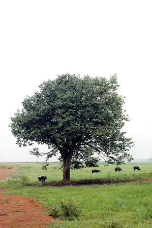 cows under tree photo