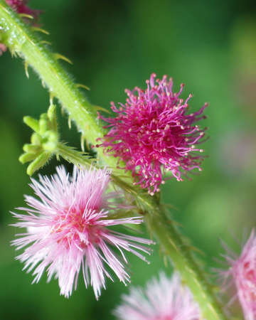 flower close up of mimosa pudica or sensitive plant photo