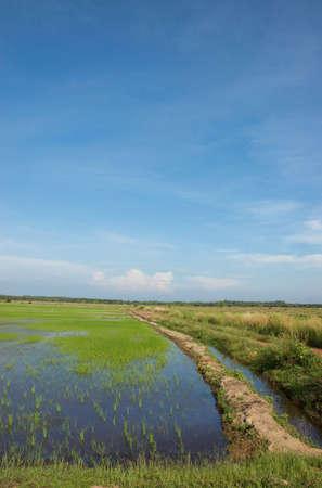 padi: beautiful rice field or padi field with blue sky