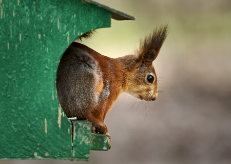 rudy: Squirrel sit on his house Stock Photo