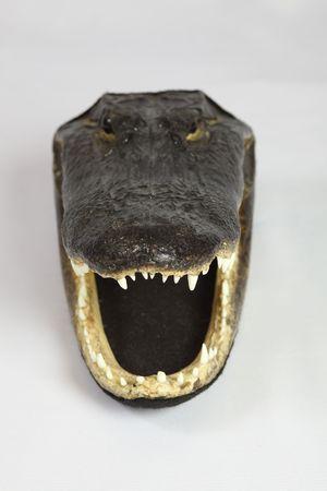 Head of real alligator on white background, studio shot photo