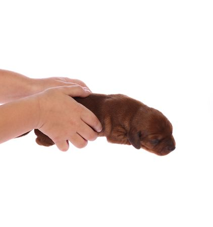girls hands holding a cute newborn 5 days old dachshund puppy on white isolated background Stock Photo - 5838461