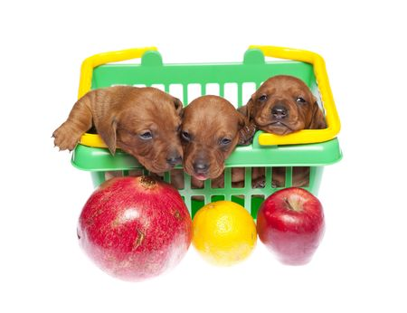 Dachshund puppies in basket with fruits on white isolated