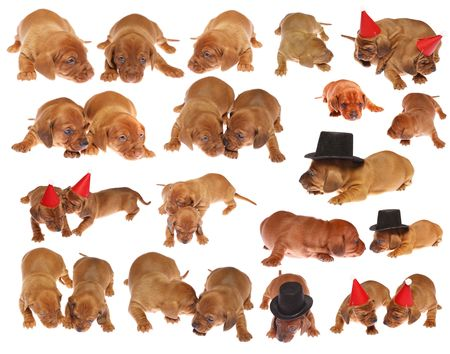 Many cute Dachshund Puppies on white isolated
