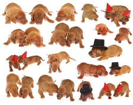 Veel leuke puppy van de teckel op wit geïsoleerd  Stockfoto - 6100280