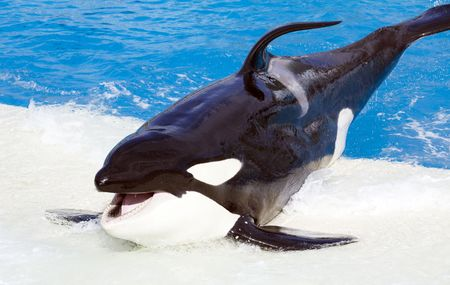 Killer whale jumping from  water photo