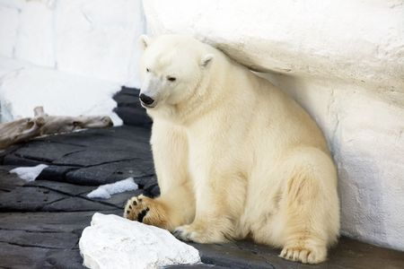 Beautiful polar bear sitting Stock Photo
