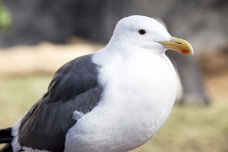 Close up picture of Seagull