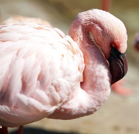 flamenco ave: Close up vista de p�jaro Flamingo
