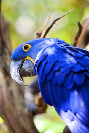 psittacidae: Close up view of blue parrot siiting on tree, focus on eye