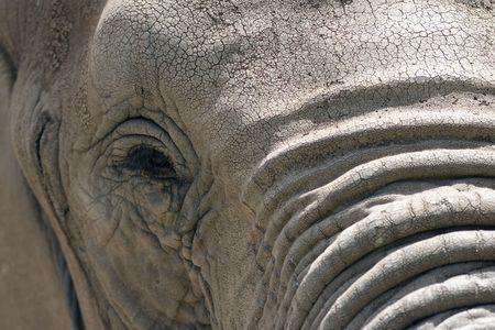 elefanten: Close up View of Elephant Gesicht