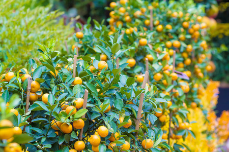 Picture of Ripe Mandarin Fruits Hanging on the Tree photo