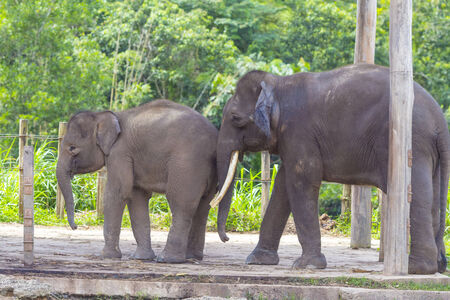 malaisia: Indian Elephants, Malaisia.