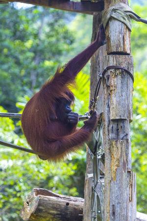 hominid: Orangutan in Sumatra, Indonesia