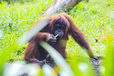 sumatra: Orangutan in Sumatra, Indonesia