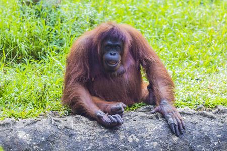 utang: Orangutan in Sumatra, Indonesia