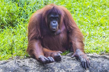 female nipple: Orangutan a Sumatra, Indonesia Archivio Fotografico