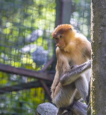 proboscis: Proboscis monkey. Stock Photo
