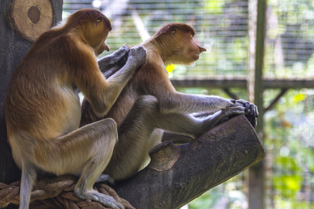 proboscis: Proboscis monkey. Stock Photo
