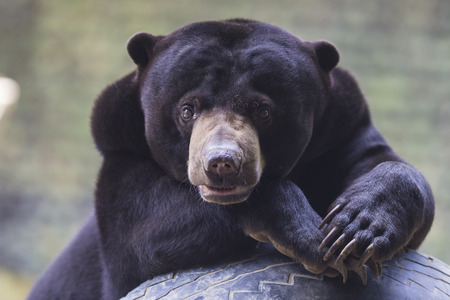 Picture of funny Malayan sun bear plaing in Zoo garden.