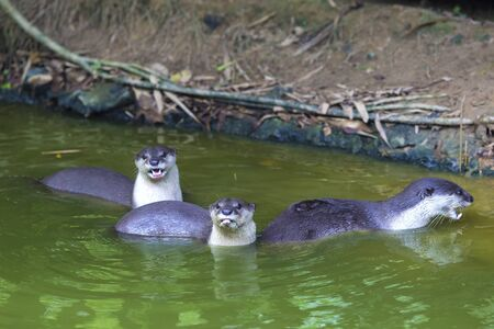 aonyx: An oriental small-clawed otter.Aonyx cinerea.Asian small-clawed otter