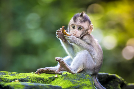 Little baby-monkey in monkey forest of Ubud, Bali, Indonesia Stock Photo