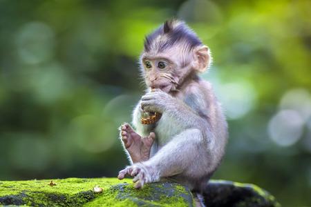Pequeño bebé-mono en bosque de los monos de Ubud, Bali, Indonesia Foto de archivo