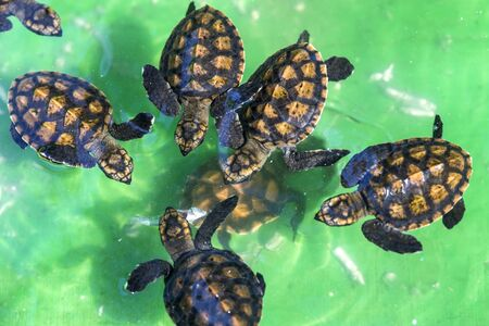 Baby Green Turtles in Small Pool. photo