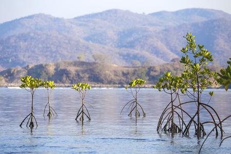 Mangroove trees