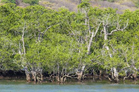 mangrove: Mangrove trees.