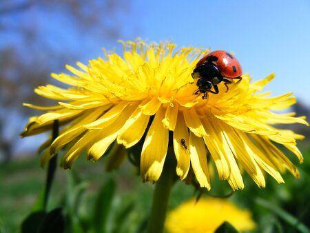 Blowball & ladybird photo