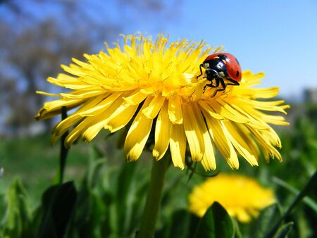 Lady bird on yellow flower photo