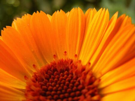 immaculate: Orange flower