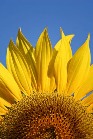 Sunflower with blue sky photo