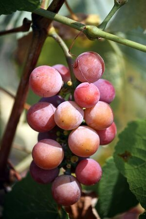 wineyard: Fresh grapes in the wineyard Stock Photo