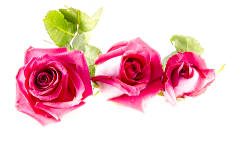 A rose is a woody perennial flowering plant of the genus Rosa, in the family Rosaceae, or the flower it bears.