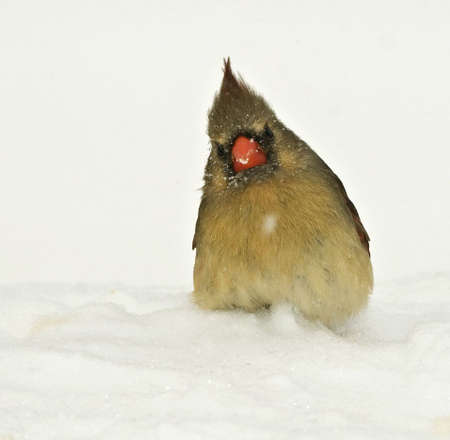 Female cardinal looking puzzled during snow storm photo