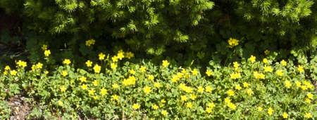 Diffondere trifoglio con piccoli fiori gialli in primavera Archivio Fotografico - 4740877