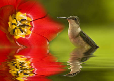 breen: Hummingbirds reflection in water alongside of tulip Stock Photo